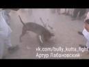 Gull terr VS pitbull (Гулл терр питбуль собачьи бои)