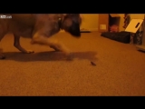 LiveLeak - Puppy meets Bug for the first time