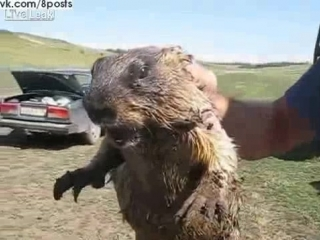 Испуганный сурок кричит как истеричка / Ever Heard a Marmot Scream