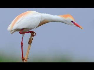 Cattle Egret - thief! Египетская цапля - воровка!