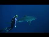 Девушка плавает с большой белой акулой в открытом океане