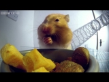 Inside a hamsters cheeks | Pets - Wild at Heart: Episode 1 Preview | BBC One