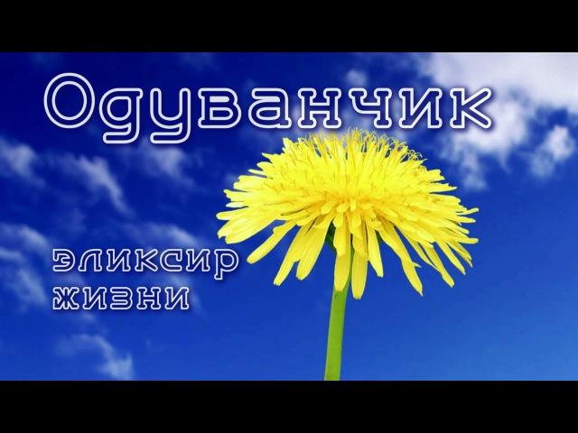 ОДУВАНЧИК - ЭЛИКСИР ЖИЗНИ!