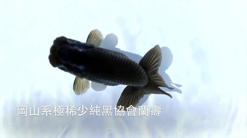Черный японский Ranchu黑色日本蘭壽Ассоциация г.Окаяма, Отдел черный Ranchu