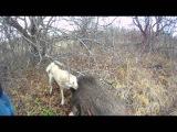 Охота на кабана с лайкой: на 3аброшенных дачах(Атос)