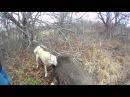 Охота на кабана с лайкой на 3аброшенных дачахАтос