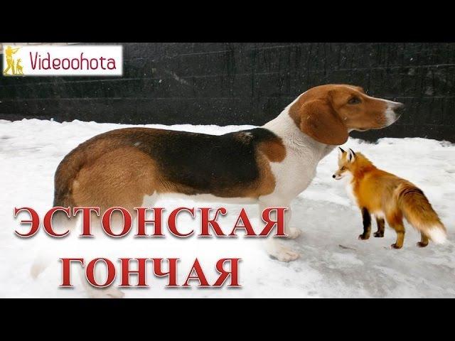 Эстонская гончая! Videoohota
