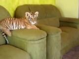 Кто-нибудь, скажите ему, что он тигр!