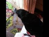 Птенец черной вороны