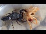 Camel Spider vs black Scorpion REAL FIGHT!!