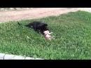 Собака ест кошку г Невинномысск 27 07 2014