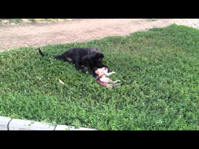 Собака ест кошку г.Невинномысск 27.07.2014