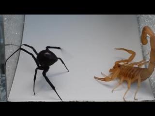 VS. Скорпион против паука черная вдова