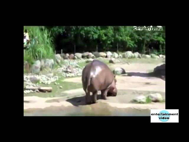 Бегемот в зоопарке пукнул на посетителя