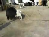 Gull Terr vs bear 18+(fight)