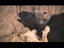 Прайд львов убивает буйвола