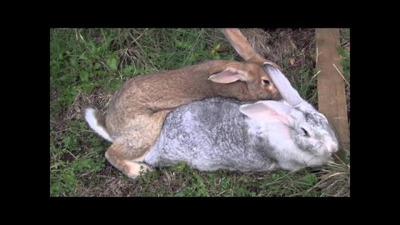 Кролики начало весеннего спаривания.