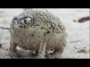 дождевая лягушка.