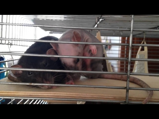 🐀Почему крыс надо держать стайкой? Разведение крыс?почему у меня все девочки?🐀