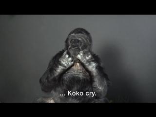 Горилла Коко предупреждает людей о последствиях изменения климата