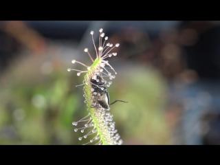 Плотоядное растение поедает муху