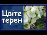 Украинские народные песни слушать. Цвте терен