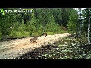 ID11300/Заповедник Кологривский лес/Волчица с волчатами