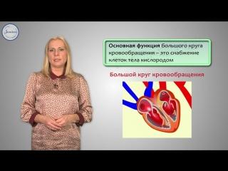 11. Строение и работа сердца. Круги кровообращения