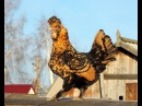 ПАВЛОВСКАЯ ПОРОДА КУР 10.12.2013 PAVLOVSKAYA breeds of chickens