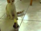 Попугай на осмотре у котёнка Кот осматривает и знакомится с попугаем