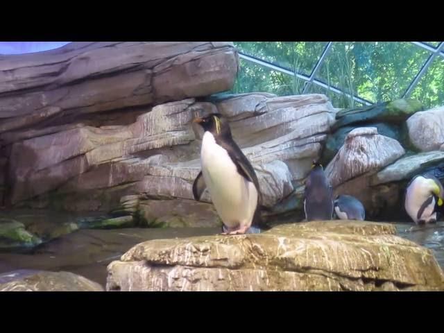 Спасался в 38-градусную тропическую жару у пингвинов)