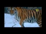 По следам уссурийского тигра-2  Operation Snow Tiger [02] (2013)