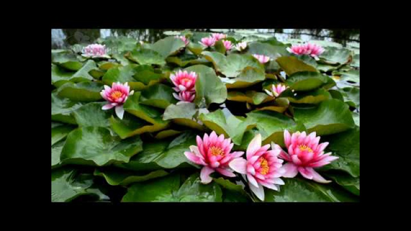 нимфея Аттракцион в питомнике Waterlilia