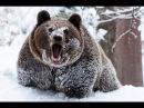 Возможно ли спастись от медведя притворившись мертвым