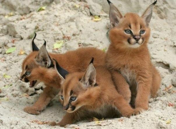 Котята кошки Каракал