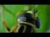 Дарлингтония калифорнийская - плотоядное растение хищник. дикий мир и поведение животных в нем.
