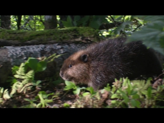 Приключения бобрёнка / Mèche Blanche, les aventures du petit castor (2008)