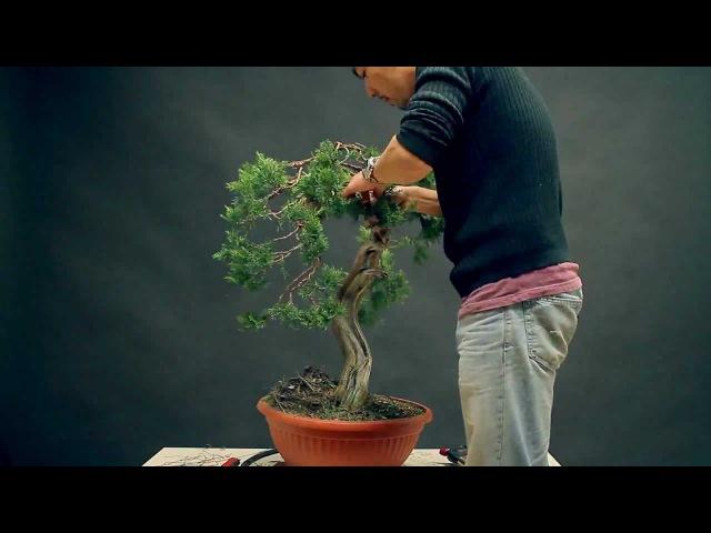Bonsai styling - Juniperus Sabina Yamadori - by Viet Luan Tran