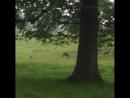 После шоу, мы делаем быстрый обход к Royal Studley   оленья ферма для этого ...