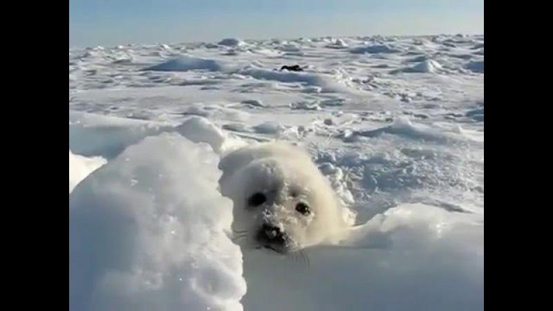 Белёк, новорожденный щенок каспийского тюленя A Caspian seal newborn pup.