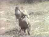 Обезьяны сбегают на кабане   Monkey run from nigga jail