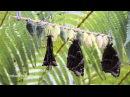Рождение бабочки Morpho peleides in HD