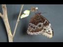Blauer Morpho - Himmelsfalter, Blue Morpho-Sky Butterfly