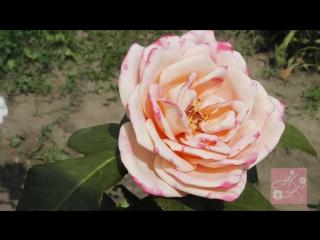 Садовая роза из фоамирана по шаблонам с настоящего цветка, с тонировкой лепестков акриловыми красками.