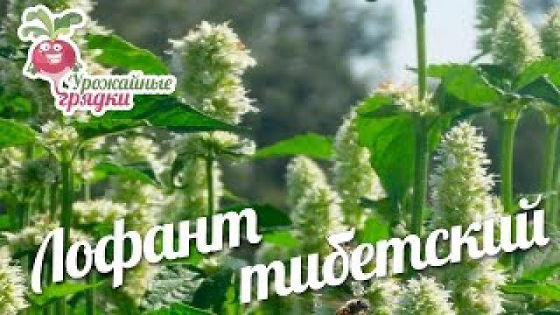 Лофант тибетский - лекарственное растение.