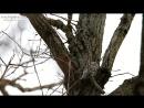 Aegithalos caudatus 1(Long-tailed Tit, Длиннохвостая синица, Ополовник, гнездо 15 метров) Moscow HD 2016