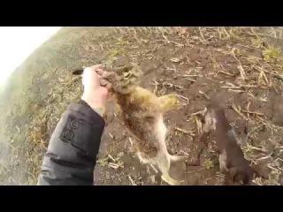 Охота на зайца - работа дратхаара (2015.11.08)
