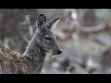 Сибирская кабарга - Siberian musk deer (Энциклопедия животных)