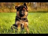Фильм о немецких овчарках! Очень познавательный фильм для выбора собаки! Полное описание породы!