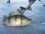 Зимний окунь! рыбалка на окуня зимой в России!
